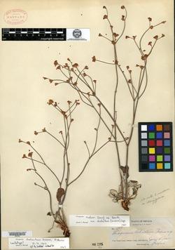 Image of Eriogonum deductum
