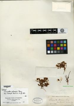 Chorizanthe andersonii image