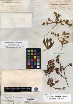 Chorizanthe fernandina image