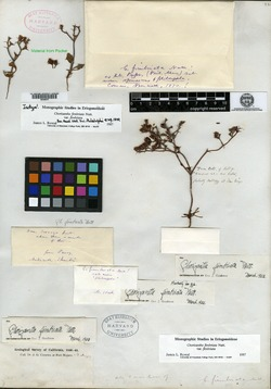 Chorizanthe fimbriata image