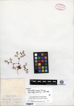 Chorizanthe insignis image