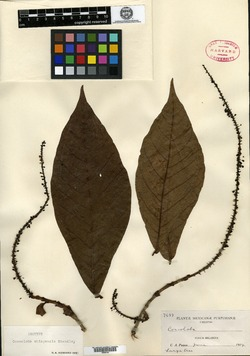 Image of Coccoloba chiapensis