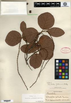Coccoloba goldmanii image