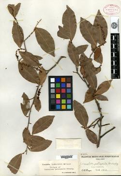 Image of Coccoloba petrophila