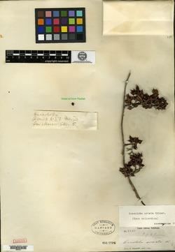 Image of Coccoloba armata