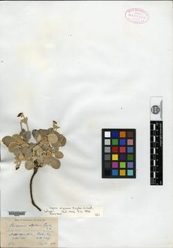Image of Eriogonum alpinum
