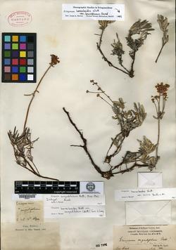Image of Eriogonum angustifolium