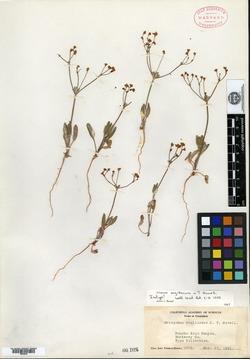 Image of Eriogonum argillosum