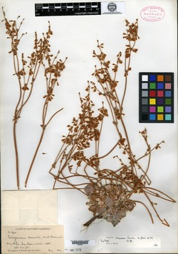Image of Eriogonum bloomeri