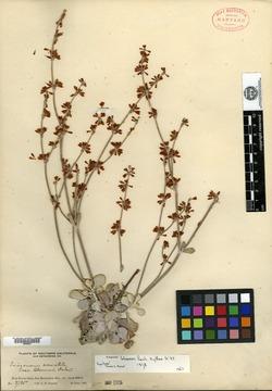 Eriogonum bloomeri image