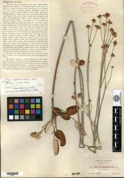 Image of Eriogonum capitatum