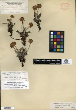 Image of Eriogonum chloranthum