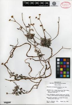 Eriogonum cronquistii image