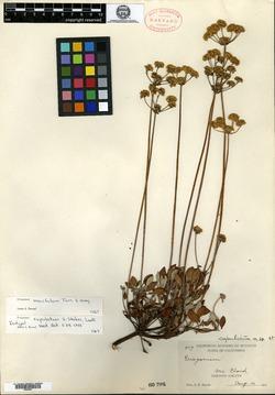 Image of Eriogonum cupulatum