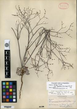 Image of Eriogonum commixtum
