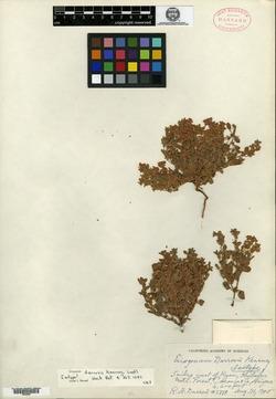 Eriogonum darrovii image