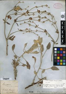 Image of Eriogonum decumbens