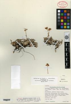 Eriogonum douglasii var. twisselmannii image