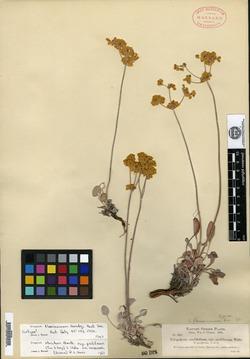 Image of Eriogonum flavissimum