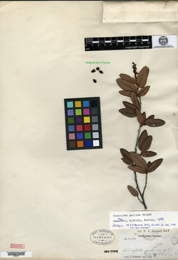 Image of Coccoloba pallida