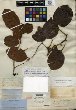 Image of Coccoloba wrightii