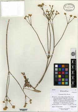 Eriogonum artificis image
