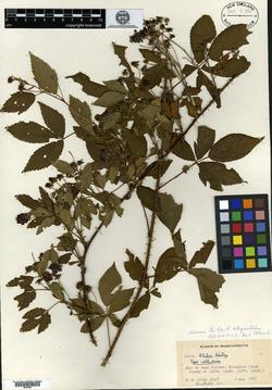 Image of Rubus blakei