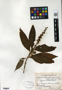 Image of Gonzalagunia chiapasensis