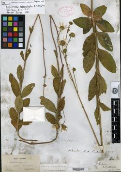 Image of Actinomeris heterophylla