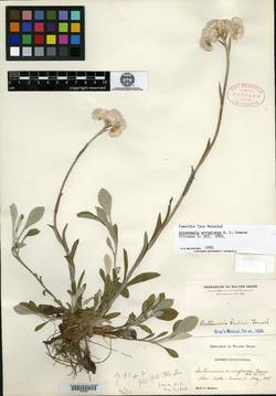 Image of Antennaria arnoglossa