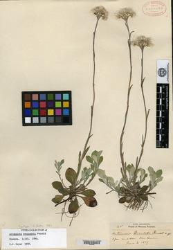 Image of Antennaria brainerdii