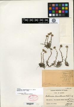 Image of Antennaria burwellensis