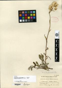 Image of Antennaria callilepis