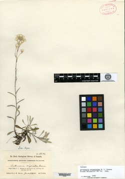 Image of Antennaria erigeroides