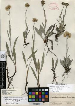 Image of Antennaria eucosma