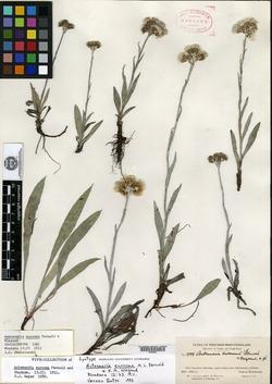 Antennaria eucosma image
