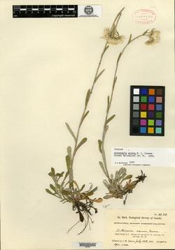 Image of Antennaria eximia