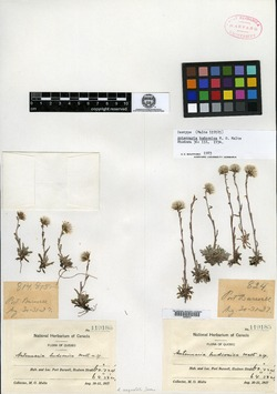 Image of Antennaria hudsonica