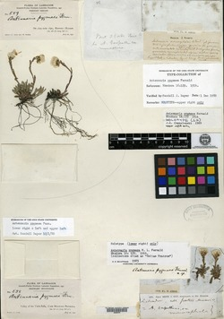 Image of Antennaria pygmaea
