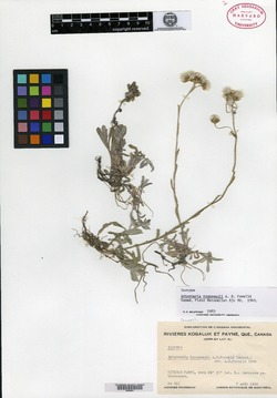 Image of Antennaria rousseauii