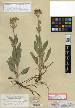 Image of Arnica lanulosa