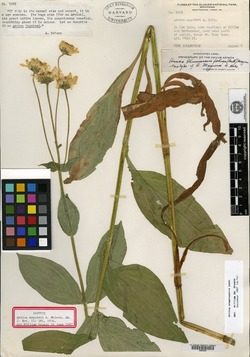 Image of Arnica maguirei