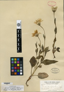 Image of Arnica parvifolia