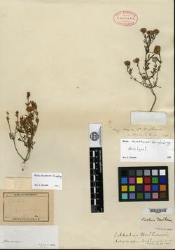 Image of Picradeniopsis woodhousii