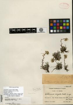 Image of Antennaria congesta