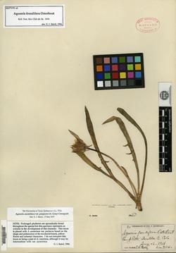 Image of Agoseris frondifera