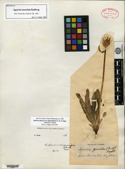Image of Agoseris maculata