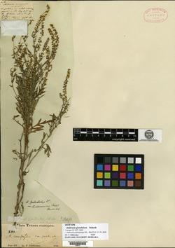 Ambrosia glandulosa image
