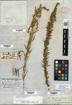Image of Artemisia cernua