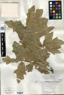 Quercus stellata var. parviloba image